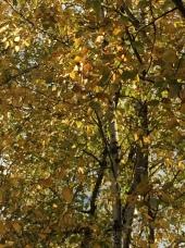 Cemetery gold tree
